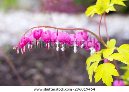 CLose up of bleeding hearts (Lamprocapnos spectabilis) - stock photo