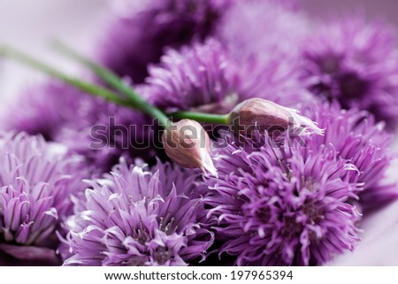 Close up of blooming chives - stock photo
