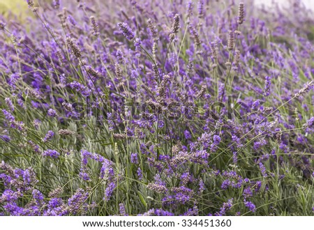 Close up of blooming lavender on a field in Provence. - stock photo