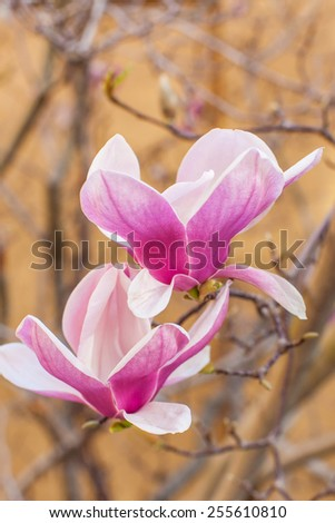 close-up of blooming magnolia at spring time - stock photo