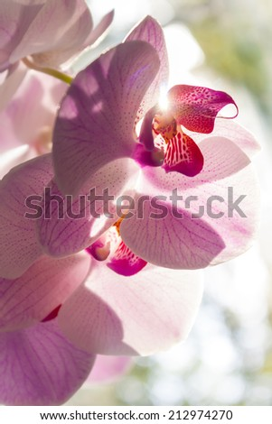 Close up of Blooming Orchid in Sunshine - stock photo