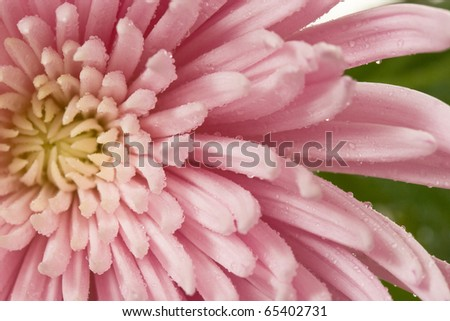 Close-up of blooming pink spider mum flower - stock photo