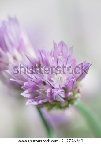 close up of blooming Purple Chive flowers. Shallow depth of field - stock photo