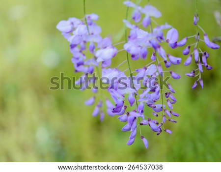 Close  up of blooming wisteria flowers - stock photo