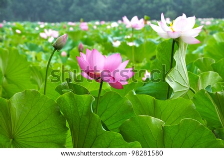 Close up of blossom pink lotus flowers in pond