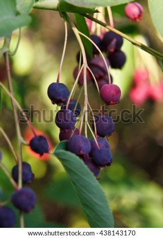 Close-up of bluberries - stock photo
