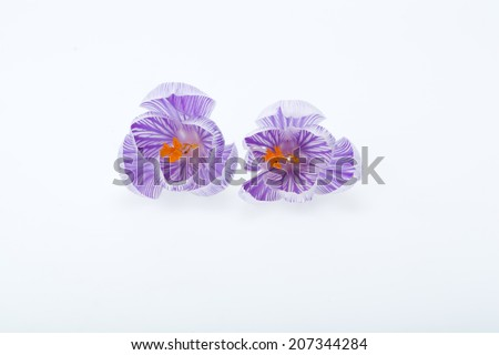 Close-up of blue and white crocus flowers isolated on white  - stock photo