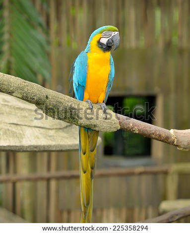 Close up of Blue-and-yellow Macaw (Ara ararauna), selective focus. - stock photo