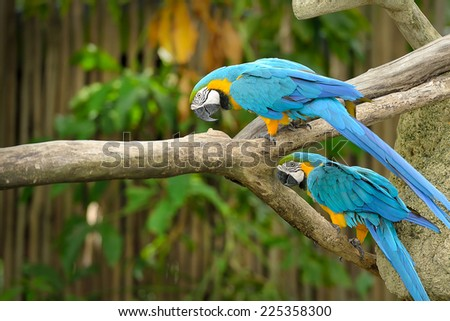 Close up of Blue-and-yellow Macaw (Ara ararauna), selective focus. - stock photo