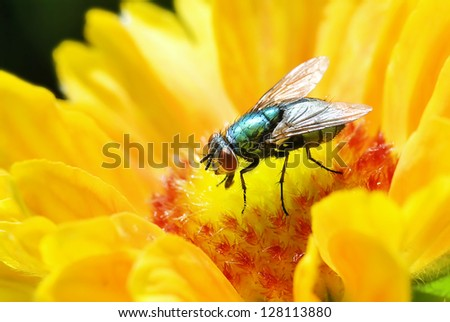 Close up of Blue Bottle Fly on Yellow Flower