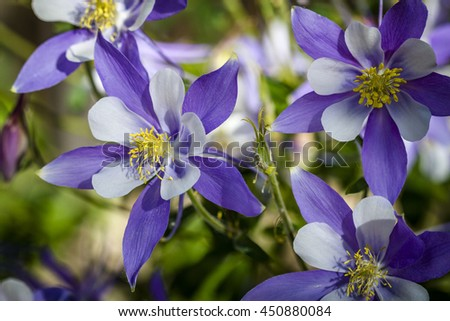 Close up of blue columbine flower blooms and buds in afternoon sunlight - stock photo