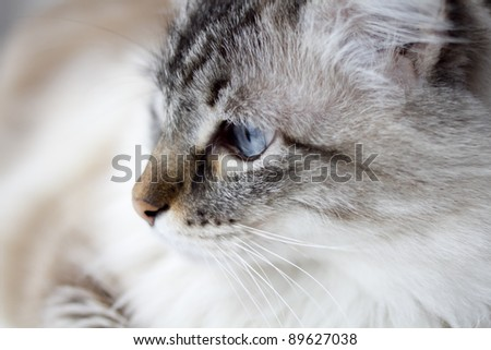 close-up of blue-eyed cat - stock photo
