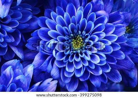 Close up of blue flower : aster for background or texture