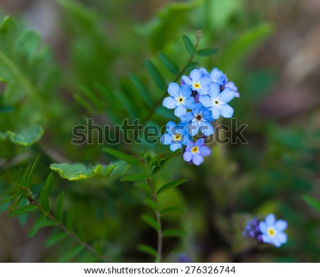 Close up of blue forget-me-nots. Blooming blue springtime flowers. - stock photo