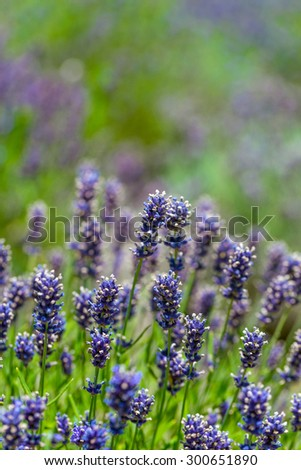 Close up of blue lavender flowers  - stock photo