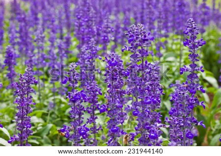 close up of blue salvia flowers - stock photo