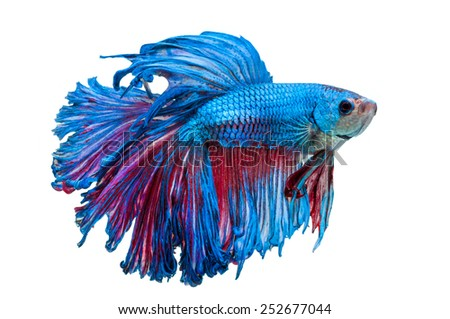 close-up of blue siamese fighting fish (betta splendens) isolated on white background - stock photo