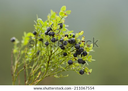 Close up of blueberries on the branch on the green background - stock photo