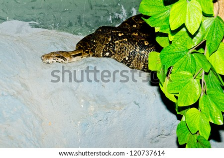 Close up of Boa Constrictor snake, Thailand. - stock photo