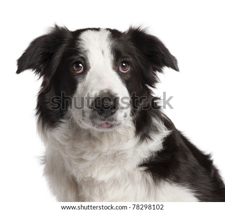 Close-up of Border Collie, 7 months old, in front of white background - stock photo
