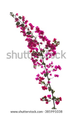 Close-up of bougainvillea flowers and tree branch, isolated on white background. - stock photo