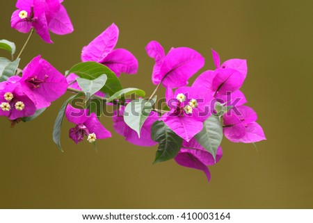 Close up of Bougainvillea flowers with a solid background - stock photo