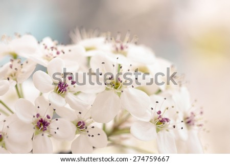 Close up of Bradford Pear Tree Blossoms in spring.