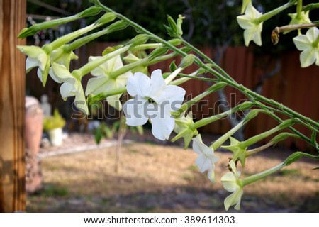 Close up of branch full of nicotiana alata  flowers, five pointed white fragrant blossoms in back yard garden.