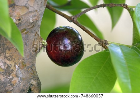 Close-up of Brazilian grape or jaboticaba, fruit originating in Brazil, maturing in the tree