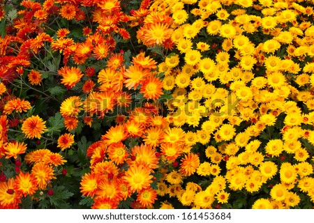 Close-up of bright colorful chrysanthemums - stock photo