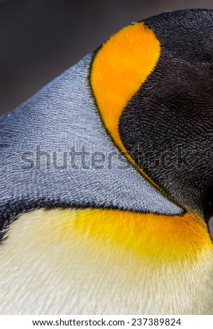 Close up of bright colors of King Penguin during breeding season - stock photo