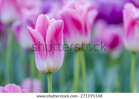 Close up of bright pink and white tulip flower stems with purple flowers in tulip field on flower bulb farm - stock photo