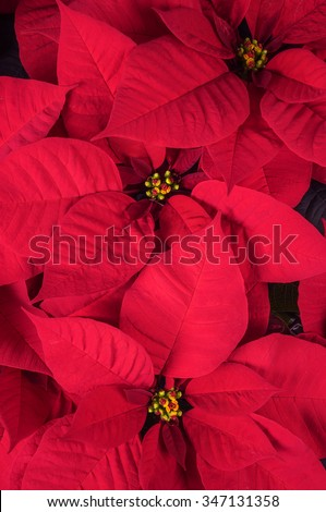 Close Up of Bright Red Christmas Poinsettia