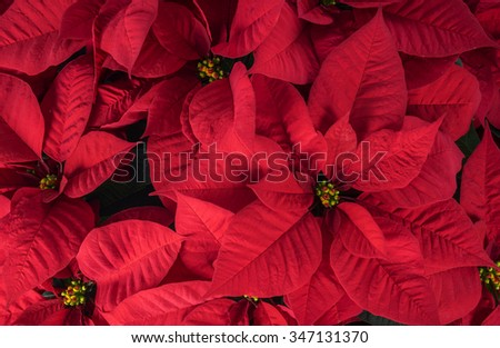 Close Up of Bright Red Christmas Poinsettia - stock photo