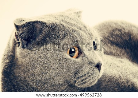 close up of British shorthair grey cat, toned image