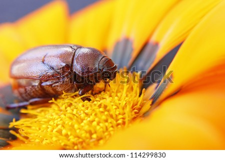 Close-up of brown beetle on a flower - stock photo