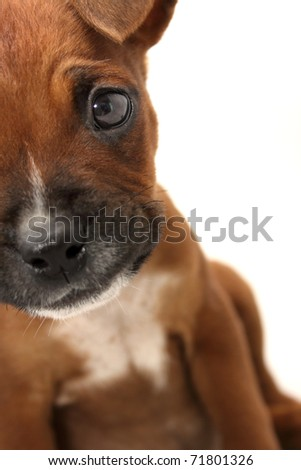 Close-up of brown Boxer puppy - stock photo