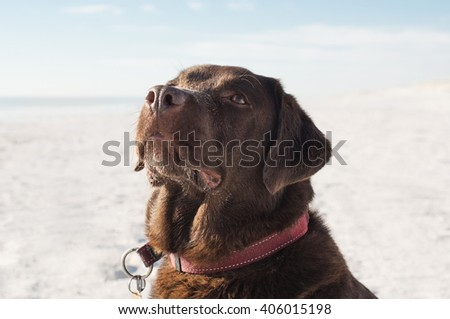 Close up of brown dog at beach. Labrador retriever enjoying at beach. Dog looking up at seaside.