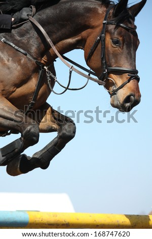 Close up of brown show jumping horse - stock photo