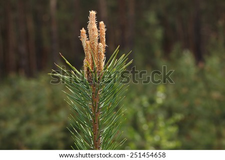 Close-up of bud on fir tree top over forest background at spring