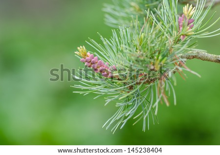 Close up of buds of a Japanese five needle pine (Pinus parvifolia) - stock photo
