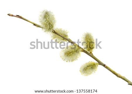 close-up of buds of deciduous tree ,pussy-willow with yellow pollen isolated on white - stock photo