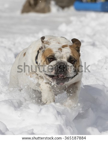 Close up of bulldog jumping in the snow - stock photo