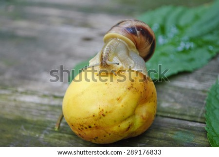 Close-up of burgundy snail walking on the apricot, also known as Roman snail, edible snail or escargot