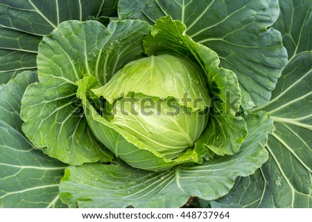 Close up of cabbage in the garden