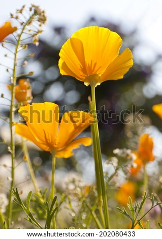 Close up of California Poppies (Eschscholzia californica) in a field