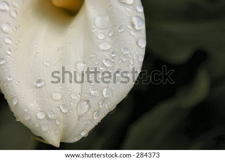 Close up of calla lily covered in raindrops.
