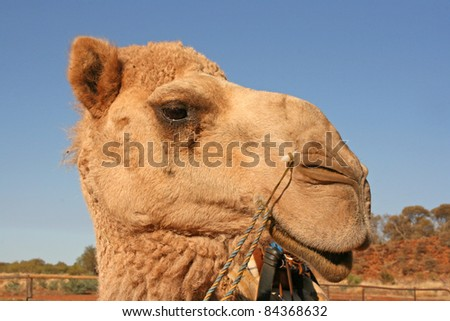 Close up of camels head. Alice Springs, Australia - stock photo