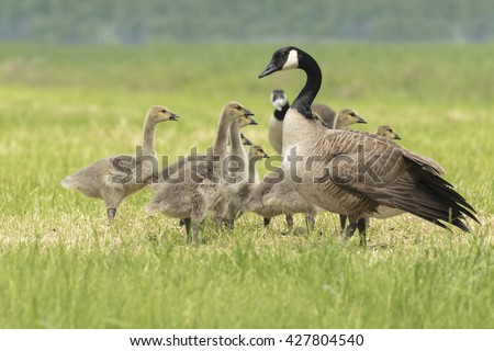 Close-up of Canada goose (Branta canadensis) newborn chicks and goose family grazing in a meadow