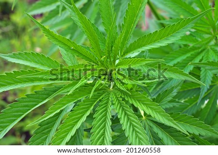 Close up of cannabis plant - stock photo